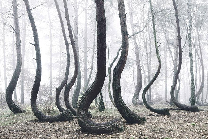 Hrôzostrašný les s čudne vyzerajúcimi stromami v Poľsku!