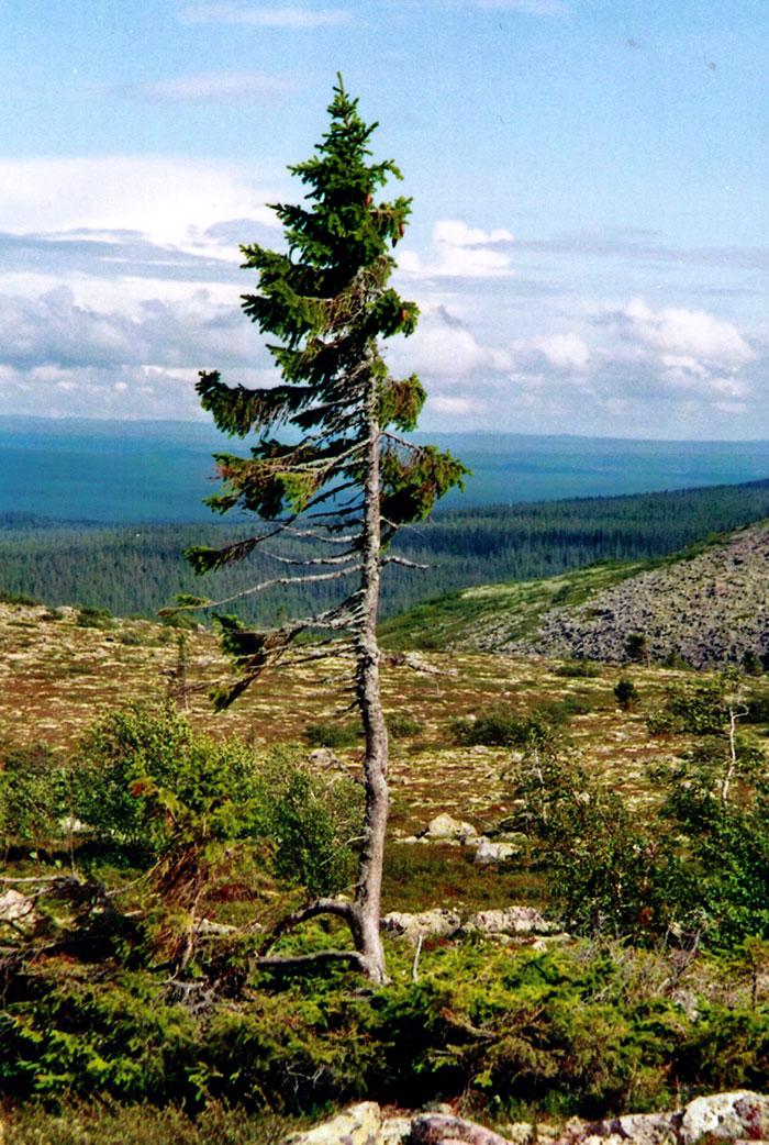 Najstarší strom na svete ma 9500 rokov