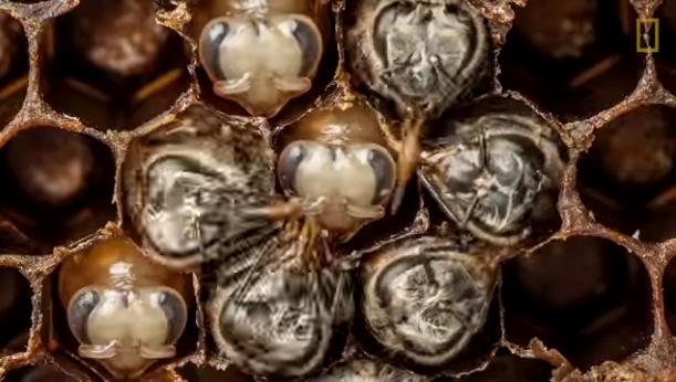 21 fascinujúcich dní zo života včely! Ako sa mení larva na schopného jedinca?