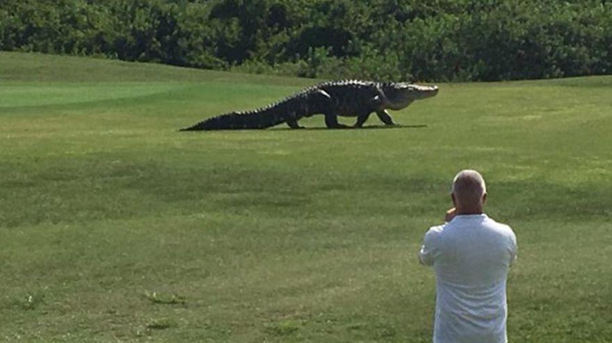 Obrovský aligátor vyrušil hráčov golfu na Floride