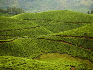 munnar-tea-plantation-india-cr-gallery-stock