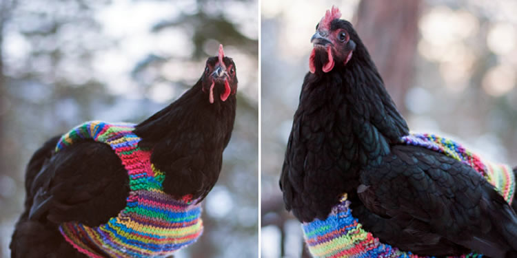 Je tvojej sliepke zima? Popros babku, aby jej uplietla takýto svetrík!