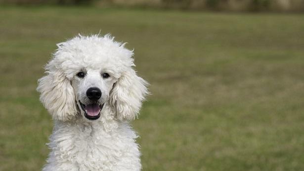 Vedci zostavili TOP 10 rebríček najinteligentnejších plemien psov. Ktoré to sú?