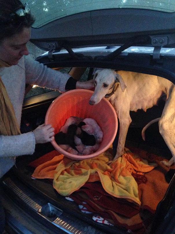 Sučka so zlomenou nohou prešla 3 kilometre, aby navštívila veterinárku a zaviedla ju za svojimi šteniatkami