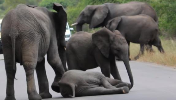 Malé sloníča skolabovalo uprostred cesty. To, ako sa zachovala jeho rodina ťa dojme