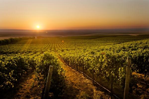 Verte neverte: Tajomné udalosti vo vinohrade