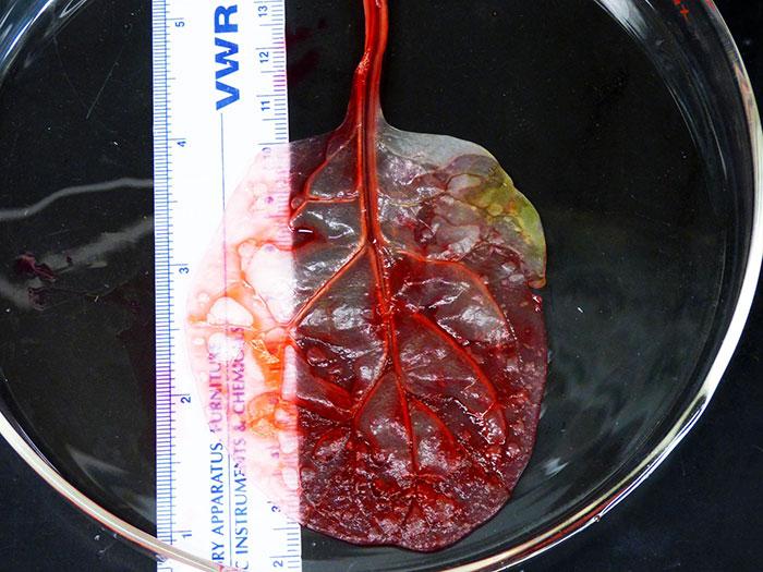 Tkanivo srdca vytvorené z listu špenátu raz možno bude zachraňovať životy