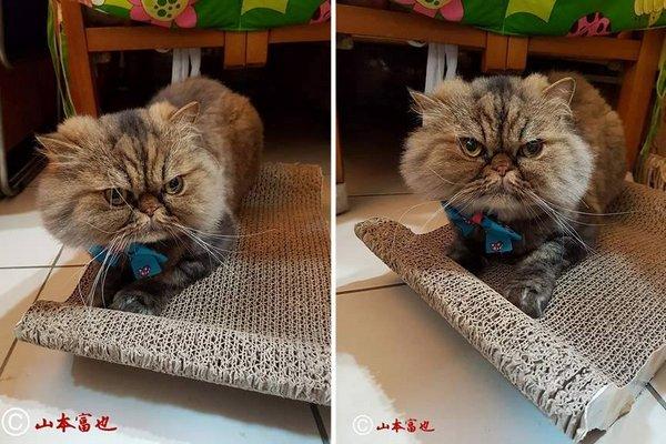 Žena dala ostrihať svoju perzskú mačku. To, čo sa s ňou stalo potom, oľutovala!