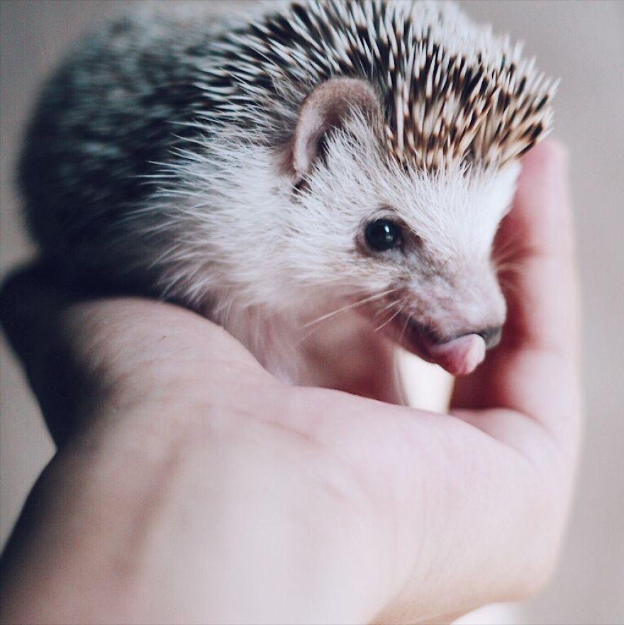 Tak malé, a tak roztomilé. Zoznámte sa s Pokey, ježkom, ktorý si maznanie naozaj užíva