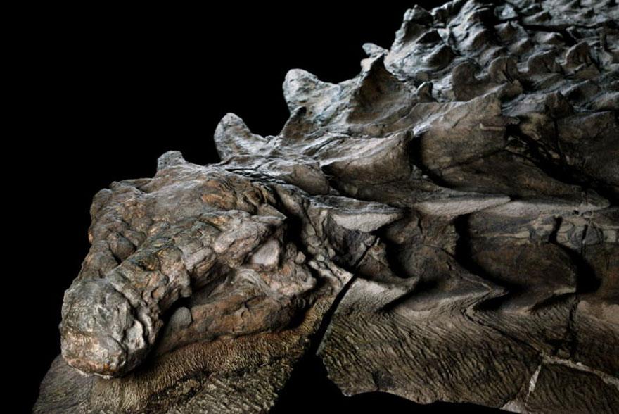 110 miliónov rokov stará múmia dinosaura je vystavená verejnosti. Jedná sa o asi najlepšie zachované telo Nodosaura