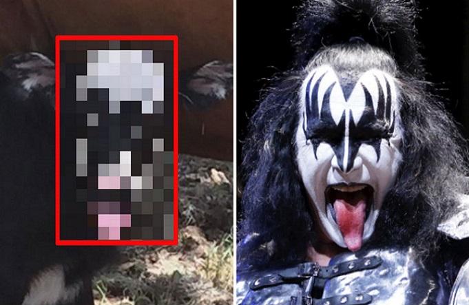 Táto krava pobláznila celý svet: Vyzerá ako spevák kapely KISS