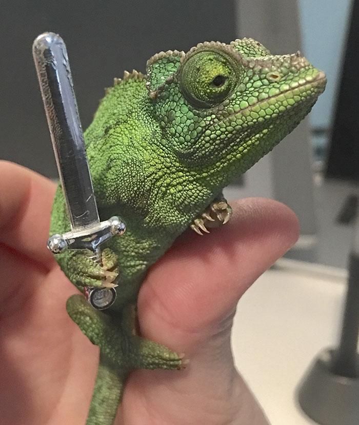 Niekto zistil, že chameleóny držia v packách všetko, čo im podáte. Vďaka tomuto zisteniu vznikli milé fotografie