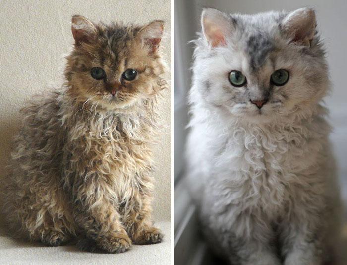 Tieto kučeravé mačičky vám určite zlepšia deň. Sú totiž neskutočne roztomilé