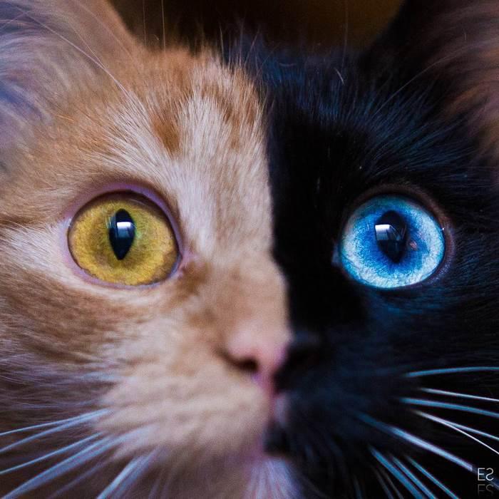 Zoznámte sa s Quimera: Roztomilou mačkou, ktorá je považovaná za chiméru