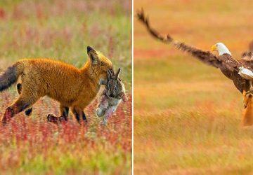 Fotograf zachytil drámu v divočine. Orol a líška priam epicky bojovali o svoju korisť