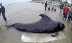 Mladú veľrybu zabili plastové sáčky. V žalúdku ich mala až 8 kilogramov