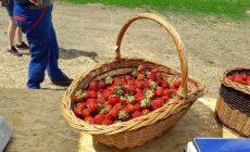 Najvyšší čas na zber jahôd a hrášku je práve teraz (západné Slovensko)
