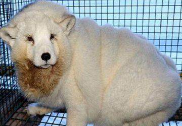 Polárne líšky určené pre módny priemysel: Úbohé zvieratá trpia obezitou a sú zatvorené v malých klietkach. Kožuchy z nich sa predávajú za milióny eur