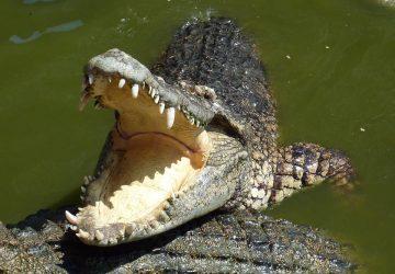 Krutá a bolestivá smrť: Pastora pri krste napadol krokodíl