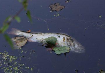 V Malom Dunaji sú mŕtve ryby. Čo je príčinou?