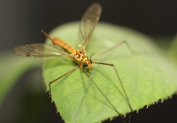 POZOR! Na Morave sú komáre nakazené smrtiacim vírusom – môžu sa ľahko dostať aj k nám!