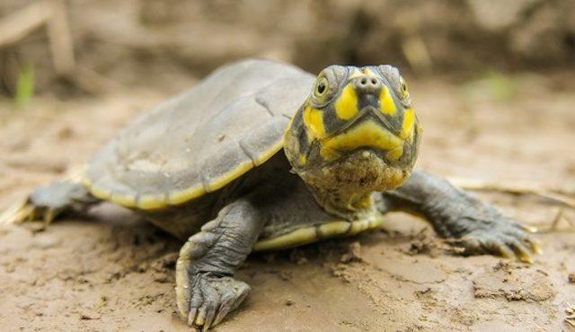OTRAS! Pašeráci korytnačkám dokonca zviazali nohy lepiacou páskou. Teraz sú už naspäť v prírode