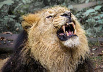 VIDEO: Muž sa na výlete v Safari vyklonil z okna auta, aby pohladkal leva. To však robiť nemal!