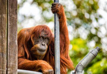 Puan, najstaršia známa samica orangutana sumatrianskeho, zomrela