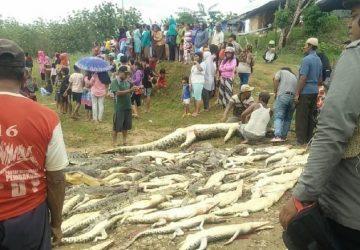 Nahnevaní obyvatelia si vybavili účty s krokodílmi. Hoci sú v Indonézii chránené, zabili ich až 292!