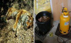 Otrasný prípad z Česka! Policajti objavili jatky, na ktorých utrácali tigre, z ktorých vyrábali okrem iného bujóny