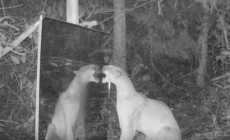 VIDEO: Divoké zvieratá videli svoj odraz v zrkadle prvýkrát v živote. Pozrite si, ako reagovali