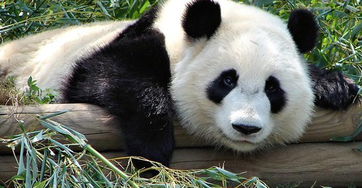 Panda predstierala tehotenstvo. Dôvod, prečo tak robila, vás dostane