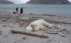 Ohrozený ľadový medveď prišiel o život kvôli turistom. Zviera sa snažilo chrániť svoje prirodzené prostredie