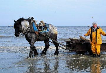 Umierajúca tradícia: Už len 15 Belgičanov loví krevety z konského chrbta