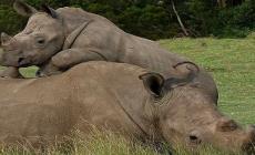 Pytliaci pripravili o život vzácneho nosorožca kvôli rohu dlhému jediný centimeter. Po mŕtvej samici ostalo bezbranné mláďa