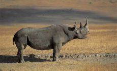 Snažia sa zachraňovať nosorožcov, napriek tomu od prevozu z jedenástich ostávajú už len dva!