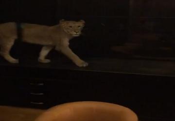 Kaviareň držala leva v tesnej sklenenej vitríne. Zákazníci sa tomu spokojne prizerali