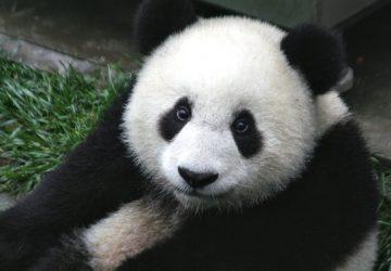 VIDEO: Toto roztopí aj najväčšieho drsniaka! Pri pohľade na rozkošné pandie bábätká vám doslova poskočí srdce!