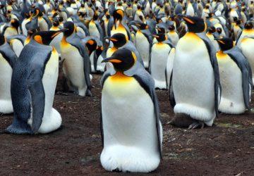 Kam sa podeli?! Kolónia tučniakov kráľovských sa zmenšila takmer o 90 percent