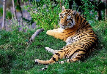 Bengálske tigre sú v ohrození! Za posledné obdobie prišlo o život 11 týchto zvierat a šance na ich záchranu klesajú