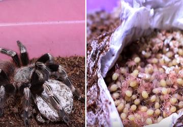 VIDEO: Nočná mora arachnofobikov! Takto vyzerá zrod malých tarantúl