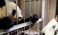 Panda vo viedenskej zoo maľuje obrazy. Zarába tak na knihu