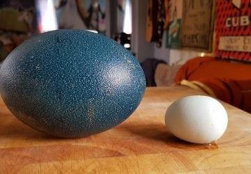 Muž si cez e-Bay kúpil pštrosie vajcia. Netušil však, čo všetko ho čaká