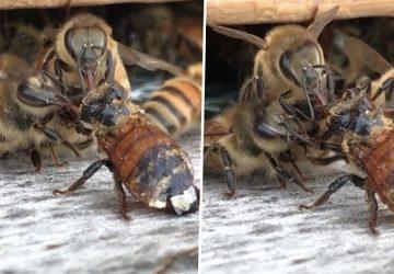 VIDEO: Včela spadla do medu a nemohla lietať. Ostatné včely neváhali a rozhodli sa ju zachrániť