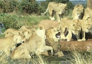Turistom v safari sa naskytol pohľad na skutočnú drámu! 9 levíc napadlo leva (VIDEO)