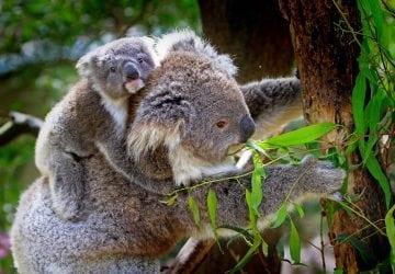 Koalám hrozí do roku 2050 vyhynutie! Dôvodom je odlesňovanie