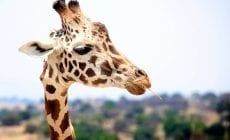 Odkiaľ majú žirafy svoje fľaky?
