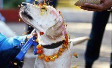Kvety okolo krku a kopec jedla. Nepálski psi oslavujú svoj vlastný sviatok