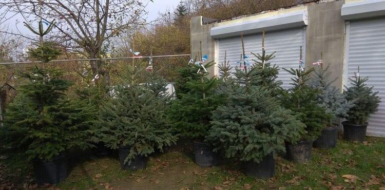 Umelé stromčeky sú na skládkach aj 500 rokov. Skúste si tento rok pre zmenu vianočný stromček prenajať