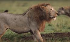 Lev bojujúci s 20 hyenami je najnapínavejšie video zo zvieracej ríše tohto roku